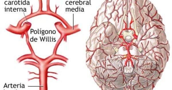 Polígono de Willis anatomía