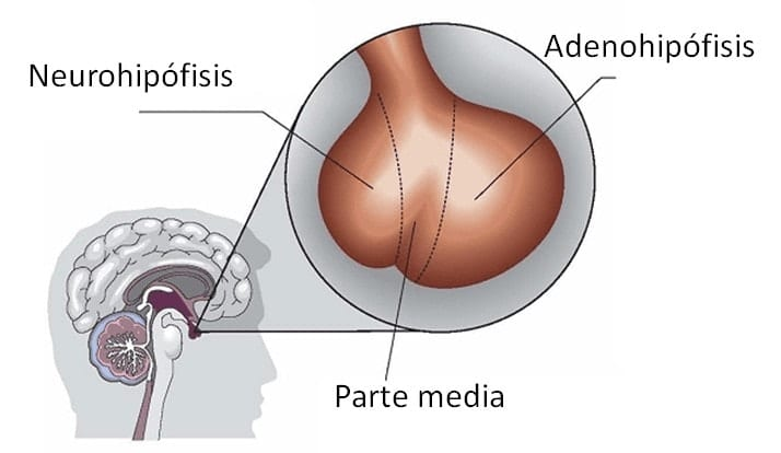 Funciones neurológicas de la hipófisis