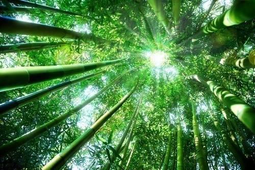 Reflexión de el bambú japones